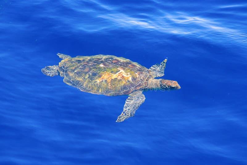 Tortue de mer verte en eau de mer bleue claire photos libres de droits