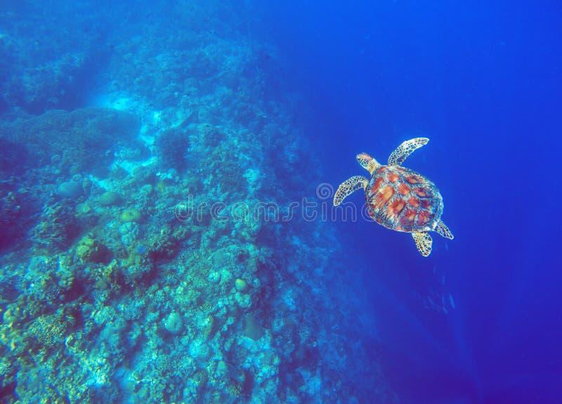 Tortue de mer verte en eau de mer bleue profonde Photo sous-marine de tortue de mer image stock