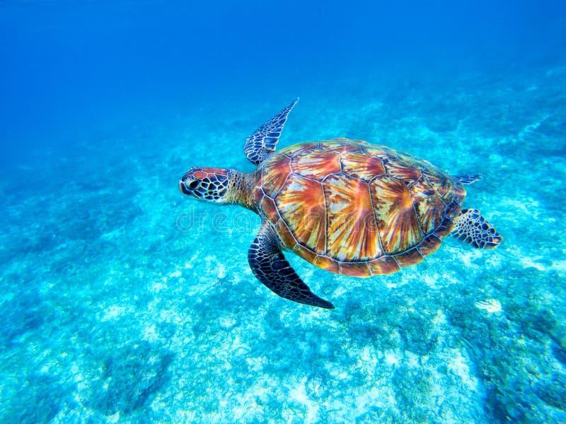 Tortue de mer verte en eau de mer peu profonde Grand plan rapproché de tortue de mer verte Espèces marines en nature sauvage photographie stock libre de droits