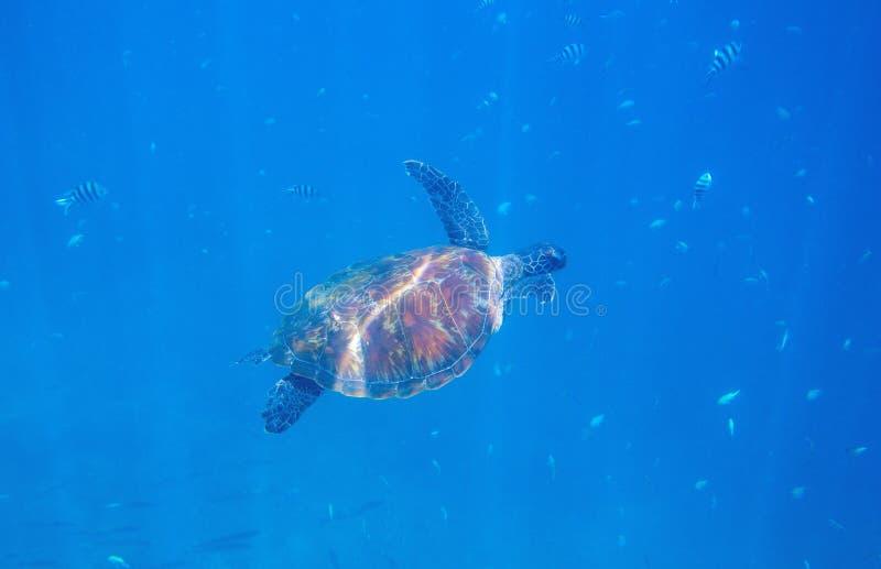 Tortue de mer verte en photo sous-marine du soleil Plan rapproché sous-marin de tortue de mer Animal océanique en nature sauvage image libre de droits