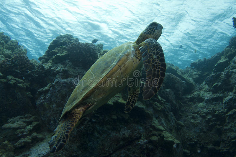Tortue de mer verte hawaïenne images stock