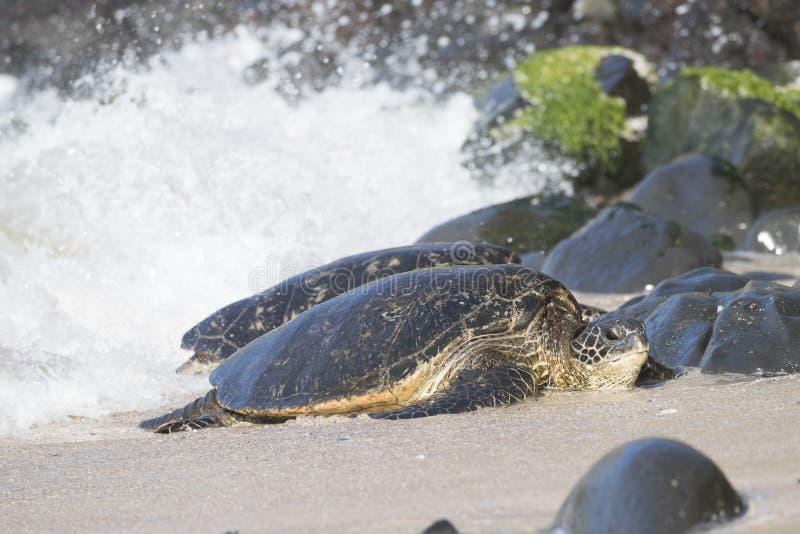 Tortue de mer verte hawaïenne d'oreille faisant le débarquement image stock