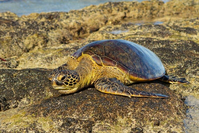 Tortue de mer verte hawaïenne se reposant sur une roche de lave images stock