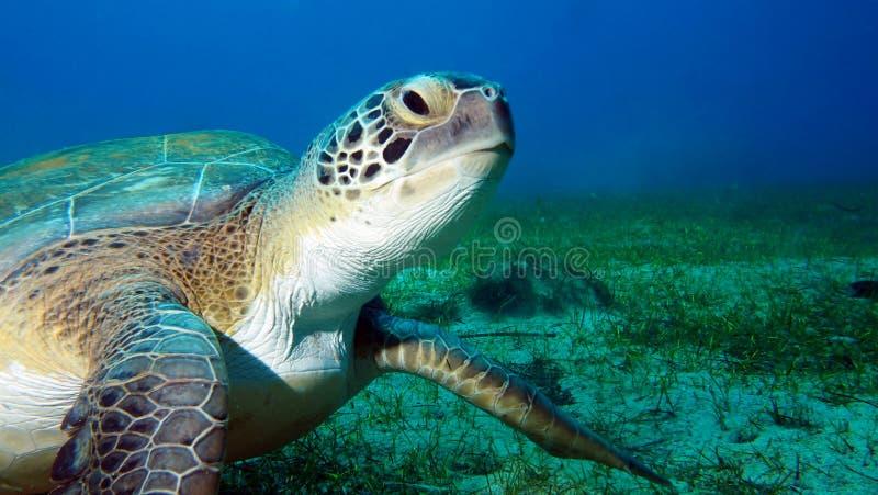 Tortue de mer verte regardant un appareil-photo sous-marin avec le fond bleu images libres de droits