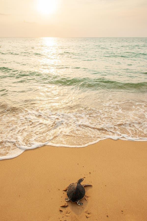 Tortue de mer verte sur la plage tropicale au coucher du soleil, se dirigeant pour l'océan pour la première fois Ressortissant th photo stock