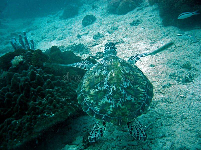 Tortue de natation images stock