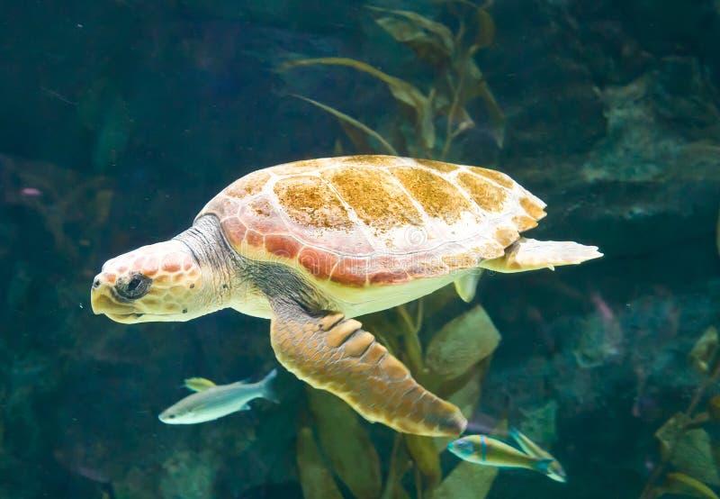 Tortue de natation photographie stock libre de droits