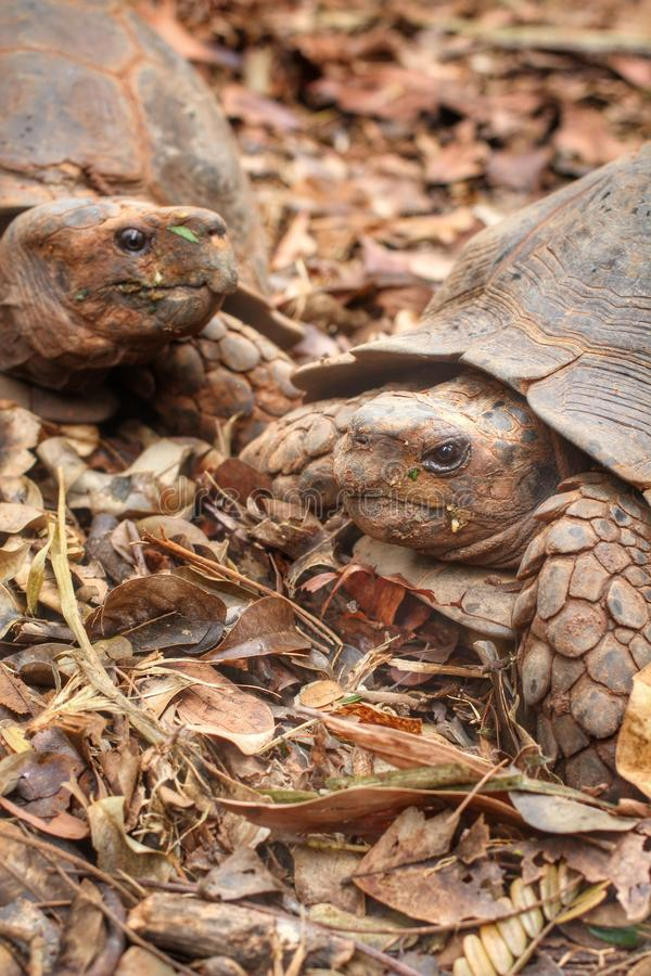 Tortue de rampement photos libres de droits