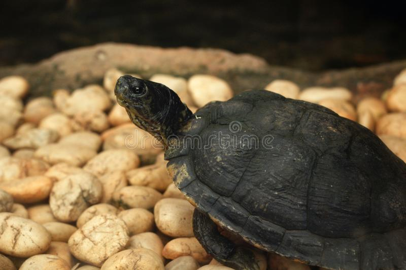 Tortue de rampement images stock