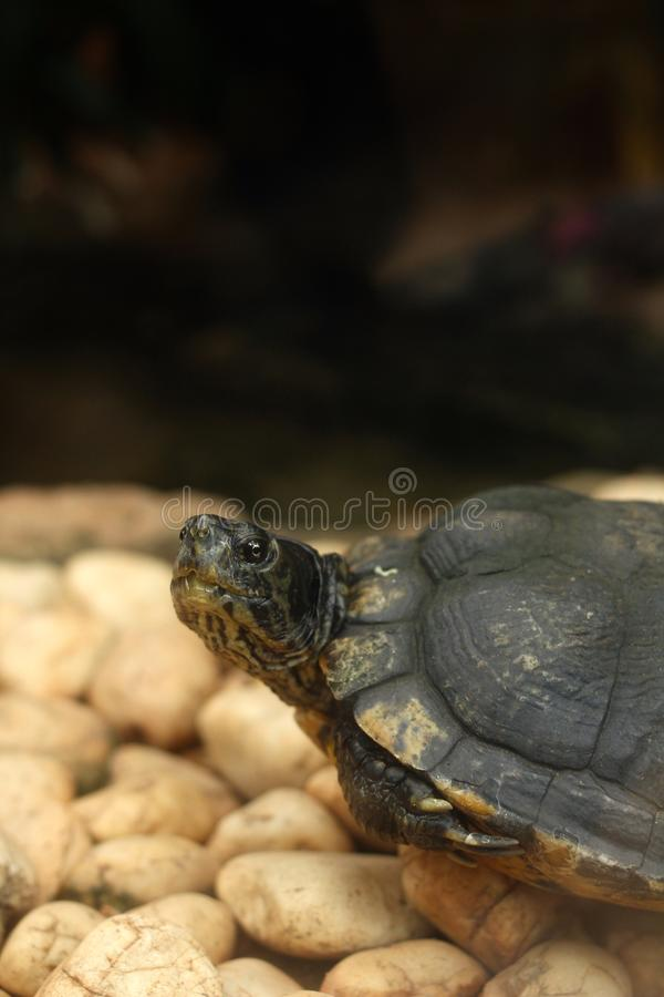 Tortue de rampement images libres de droits
