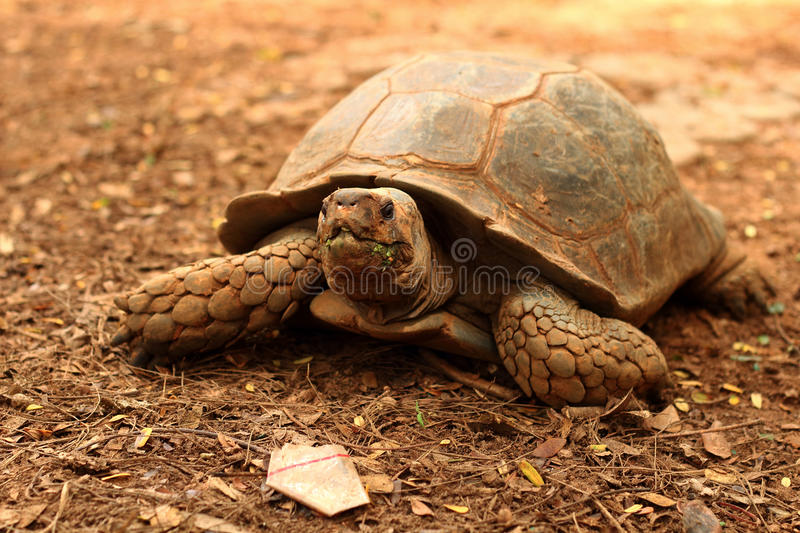 Tortue de rampement dans la nature photo stock