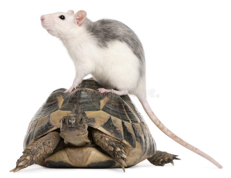 Tortue de rat et de Hermann, hermanni de Testudo photo stock