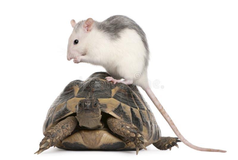 Tortue de rat et de Hermann, hermanni de Testudo photographie stock