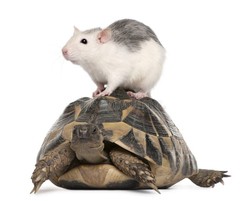 Tortue de rat et de Hermann, hermanni de Testudo images libres de droits
