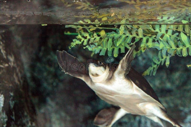 Download Tortue De Rivière De Mouche Connue Sous Le Nom D'insculpta De Carettochelys Image stock - Image du reptile, mouche: 87701719