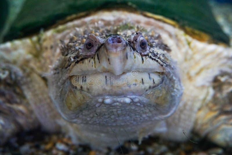 Tortue de rupture d'alligator, temminckii de Macrochelys images stock