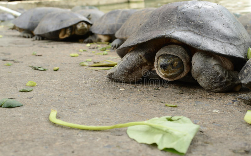Tortue de terre, tortue photographie stock libre de droits