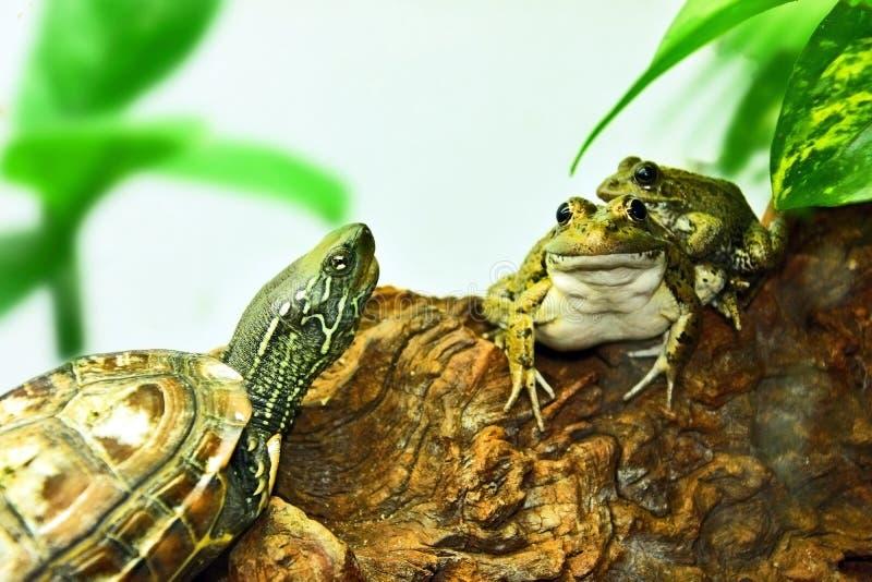 Tortue et grenouilles, bons amis photos libres de droits