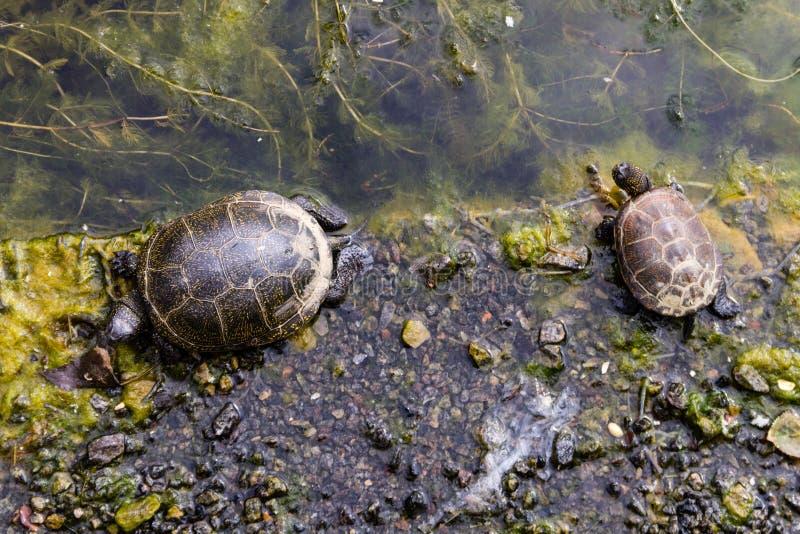 Tortue européenne d'étang images stock
