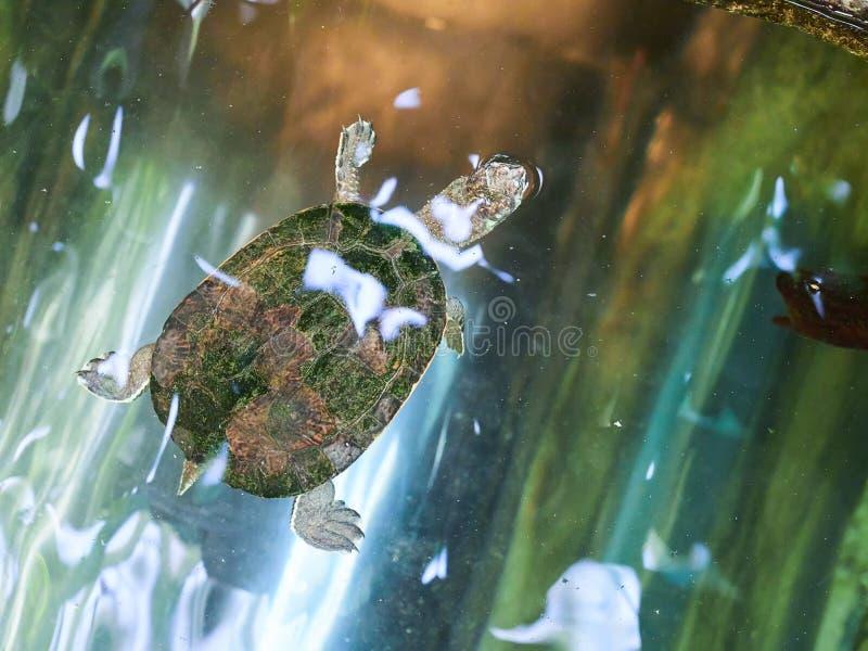 Tortue européenne d'étang au zoo photo libre de droits