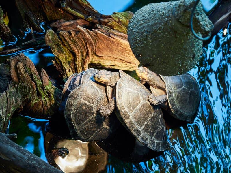 Tortue européenne d'étang au zoo photo stock