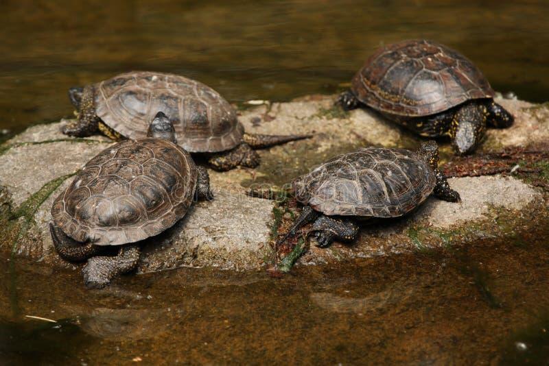 Tortue européenne d'étang (orbicularis d'Emys) images libres de droits