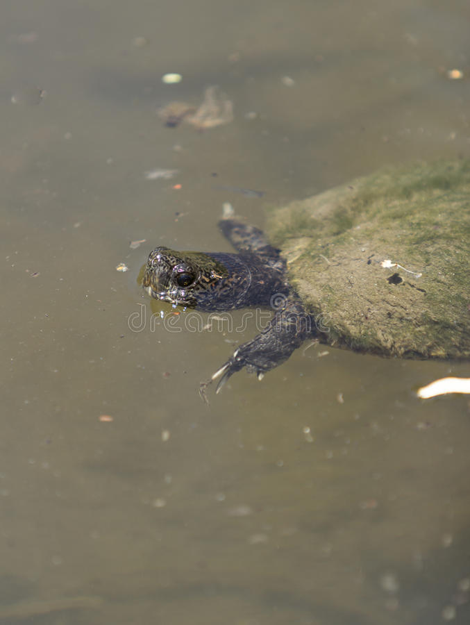 Tortue européenne d'étang, orbicularis d'Emys photos libres de droits