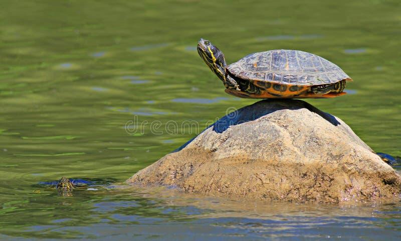 Tortue faisant le yoga trouvant le sens de l'équilibre final sur la roche photo stock