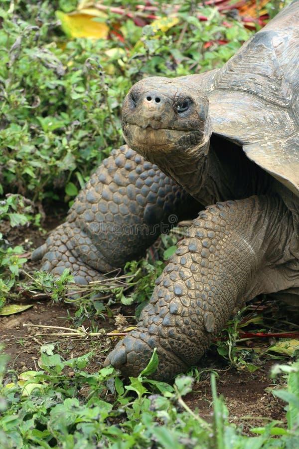 Tortue fouineuse de Galapagos photos stock
