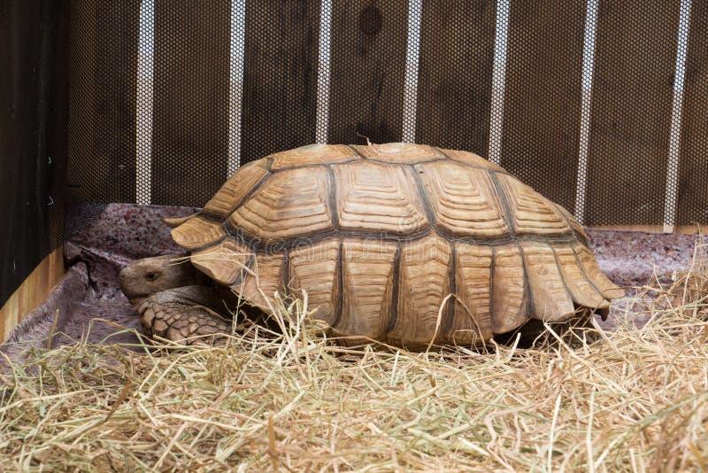 Tortue géante d'Aldabra photographie stock libre de droits