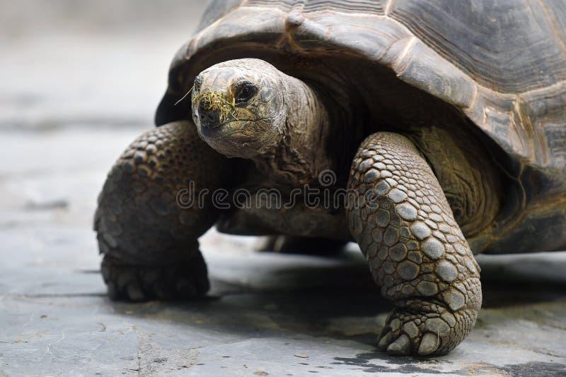 Tortue géante d'Aldabra image libre de droits