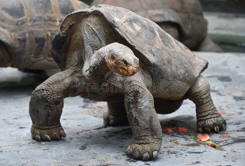 Tortue géante d'Aldabra images libres de droits