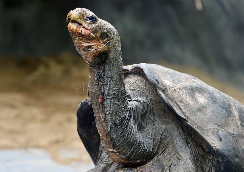 Tortue géante d'Aldabra photos libres de droits