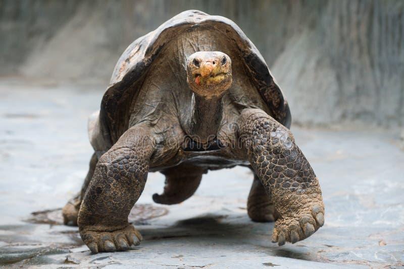Tortue géante d'Aldabra images stock