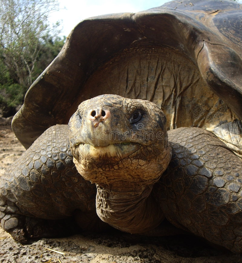 Tortue géante de Galapagos photo stock