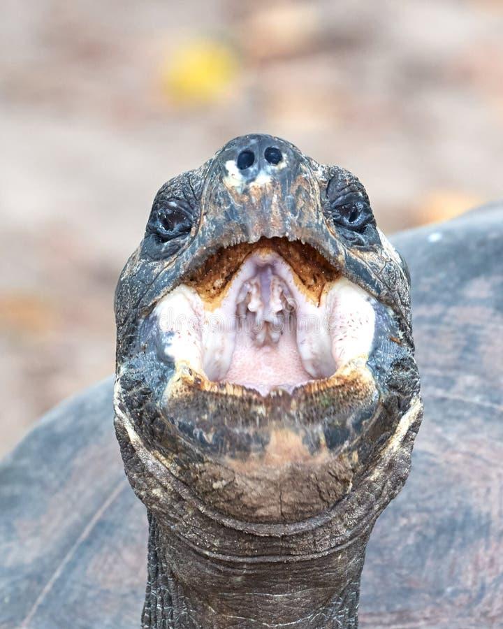 Tortue géante de Galapagos baîllant photo libre de droits