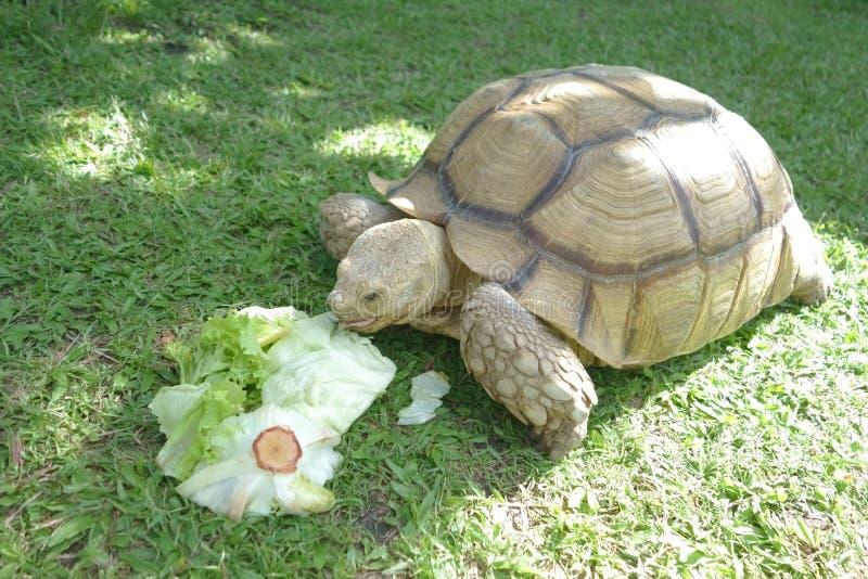 Tortue géante mangeant le fond végétal vert images stock