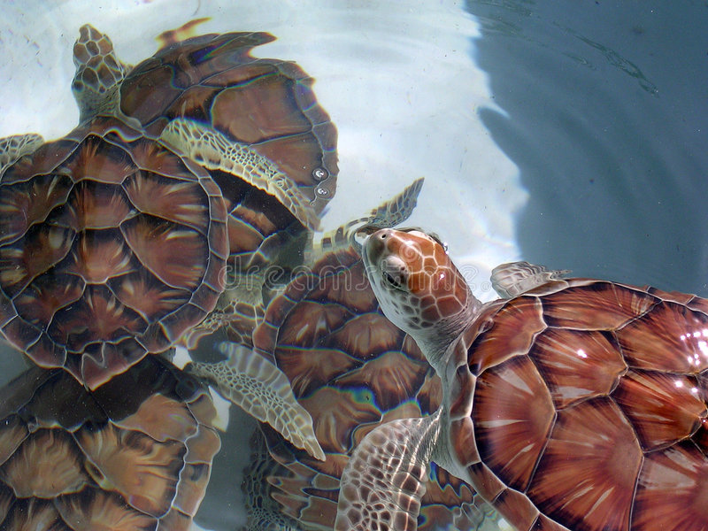 Tortue-Groupe de mer verte photos stock