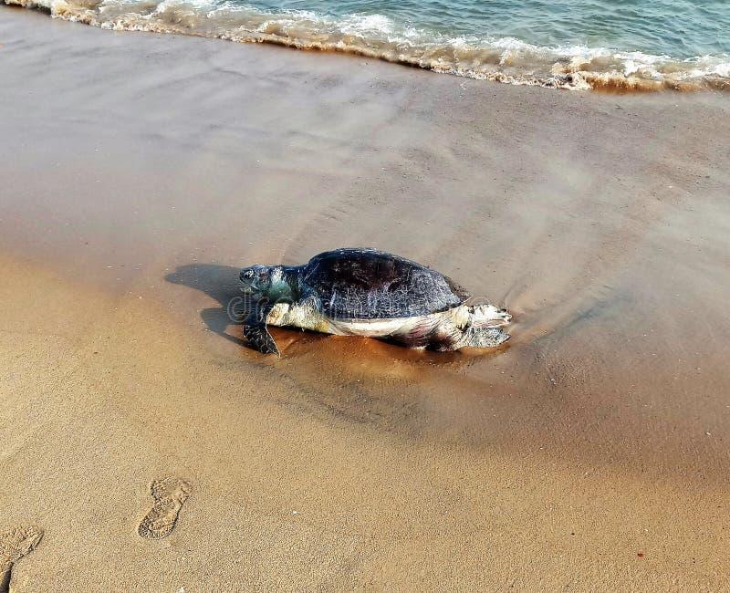 Tortue morte sur le sable de la plage de mer image stock