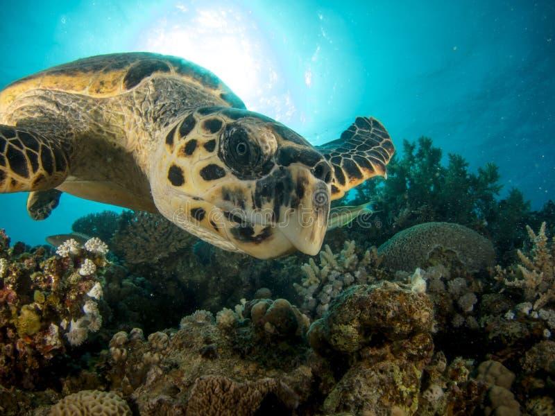 Tortue nageant au-dessus du récif coralien avec le soleil à l'arrière-plan images libres de droits
