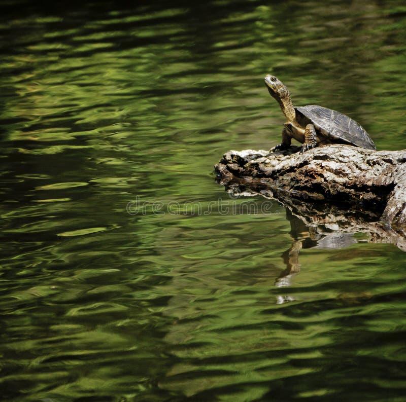 Tortue occidentale d'étang, la Californie photographie stock libre de droits