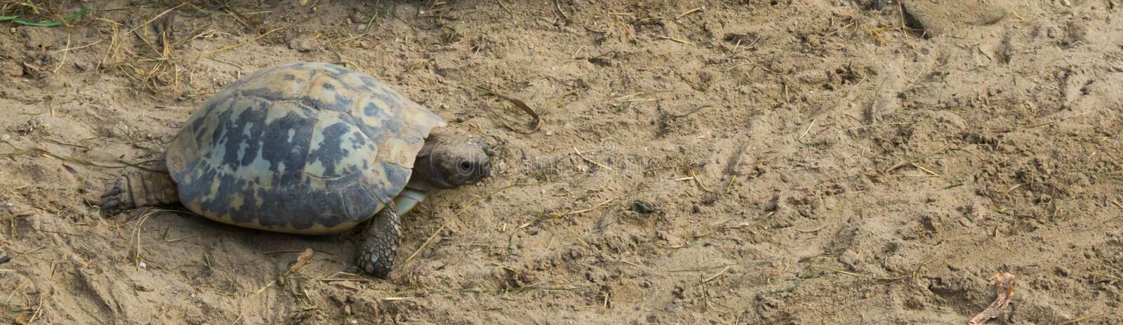 Tortue ovale rampant par le sable à sa propre phase, un animal mis en danger d'Inde photo stock