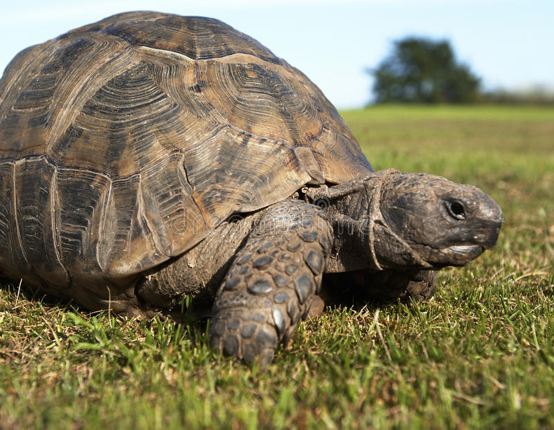 Tortue rampant le long de l'herbe photo libre de droits