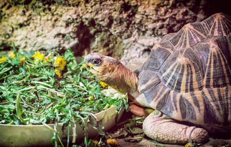 Tortue rayonnée - radiata d'Astrochelys, portrait animal images libres de droits