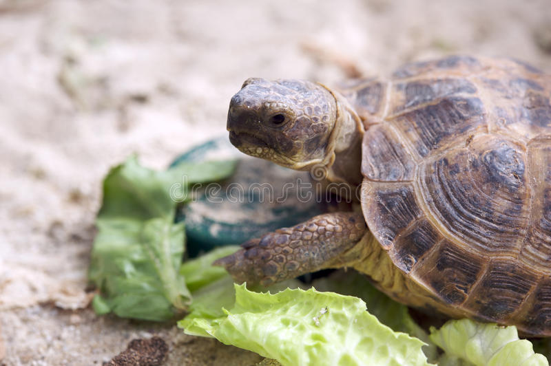 Tortue russe photographie stock