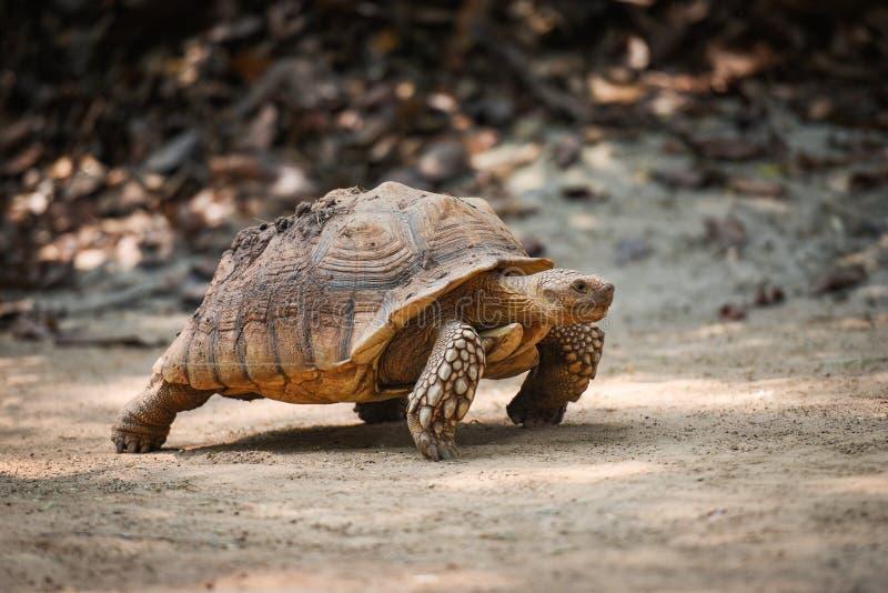 Tortue stimulée africaine/fin vers le haut de la marche de tortue image libre de droits