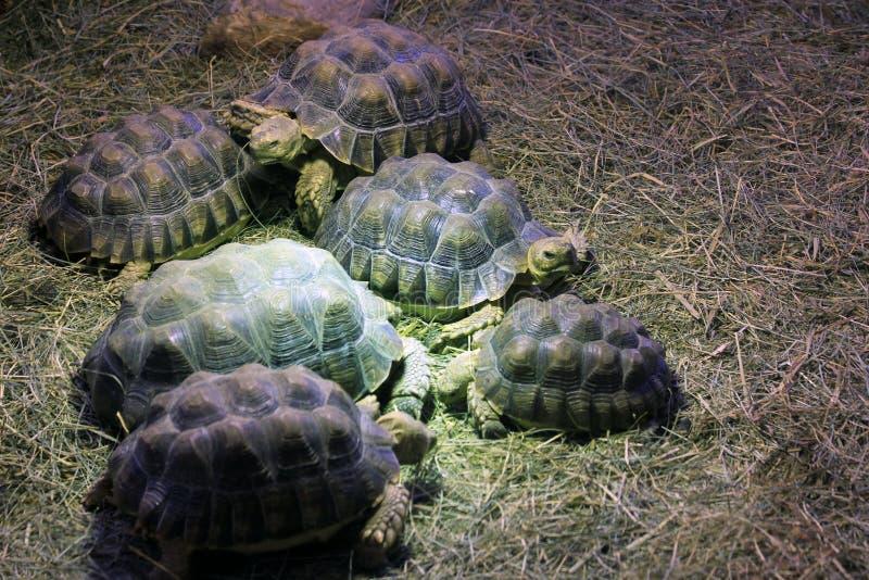 tortue terrestre exotique image stock