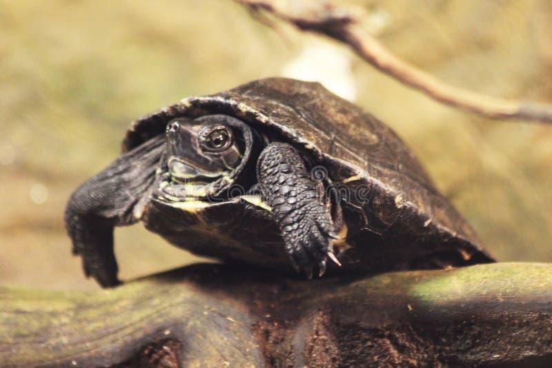 tortue terrestre exotique photographie stock