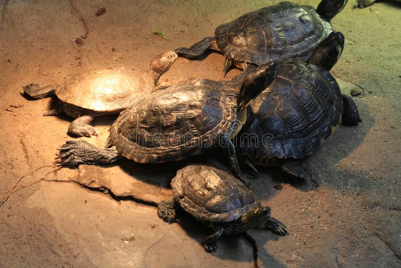 tortue terrestre exotique photos libres de droits