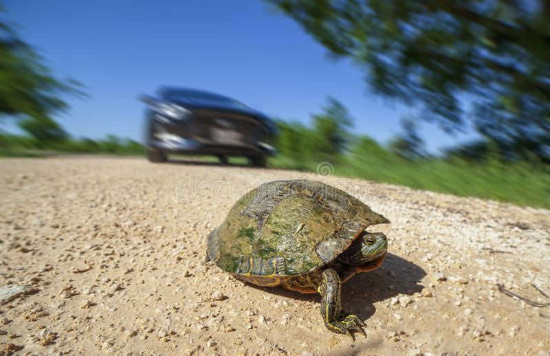 Tortue traversant le chemin de terre photo libre de droits